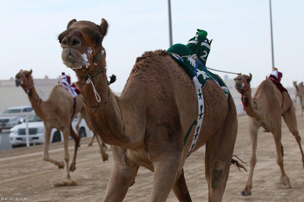 2014 Nov 15 - Camel Race