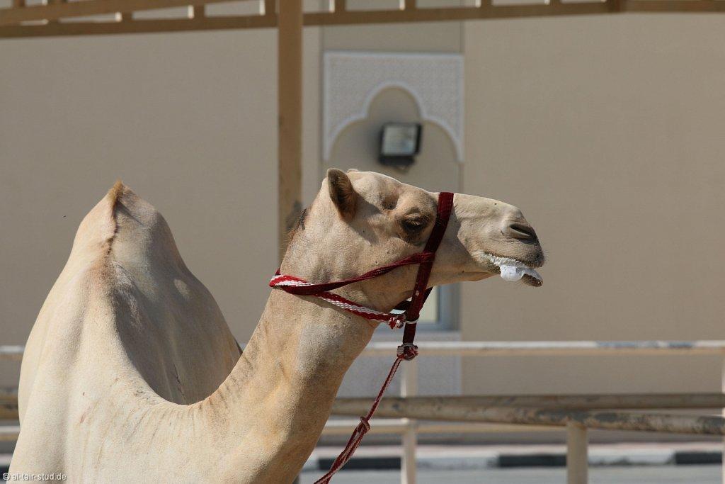 2014 Nov 16 - Camel Farm