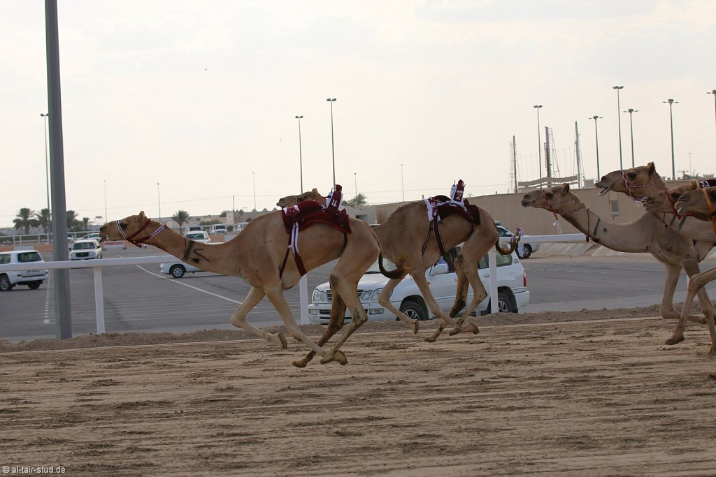 20141115b-041-CamelRace-IMG-5371-o.jpg