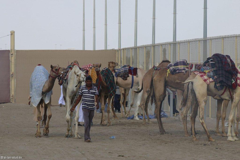 20141115b-048-CamelRace-IMG-5414-o.jpg