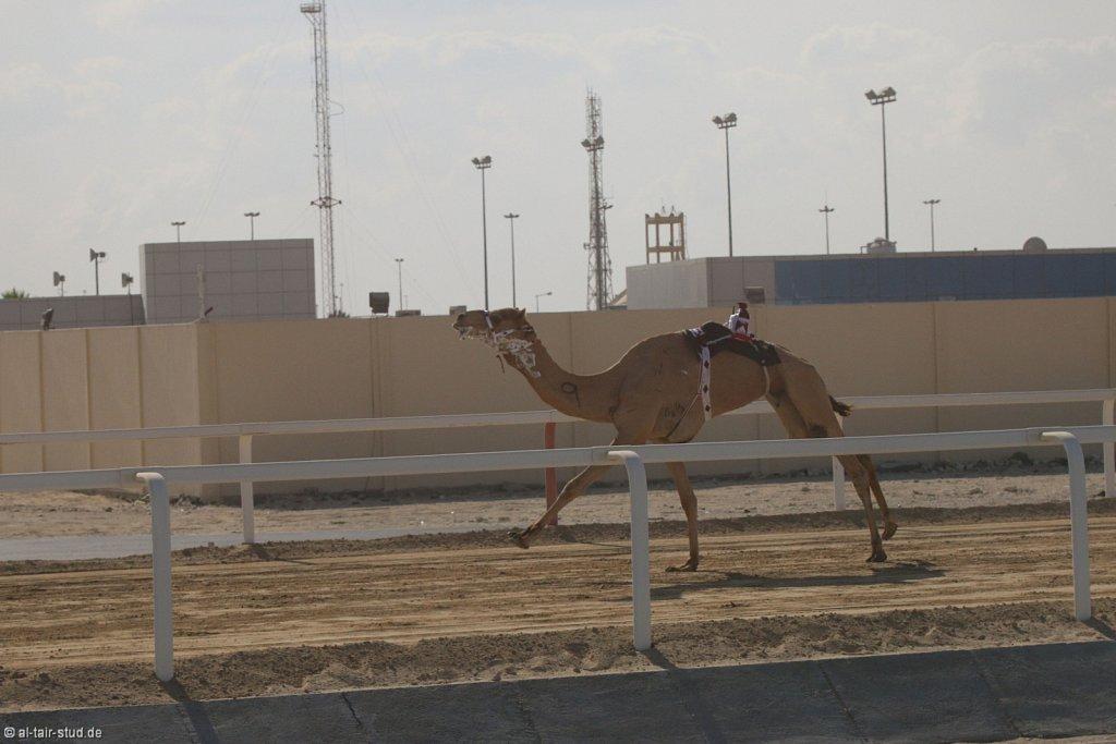 20141115b-002-CamelRace-IMG-4862-o.jpg