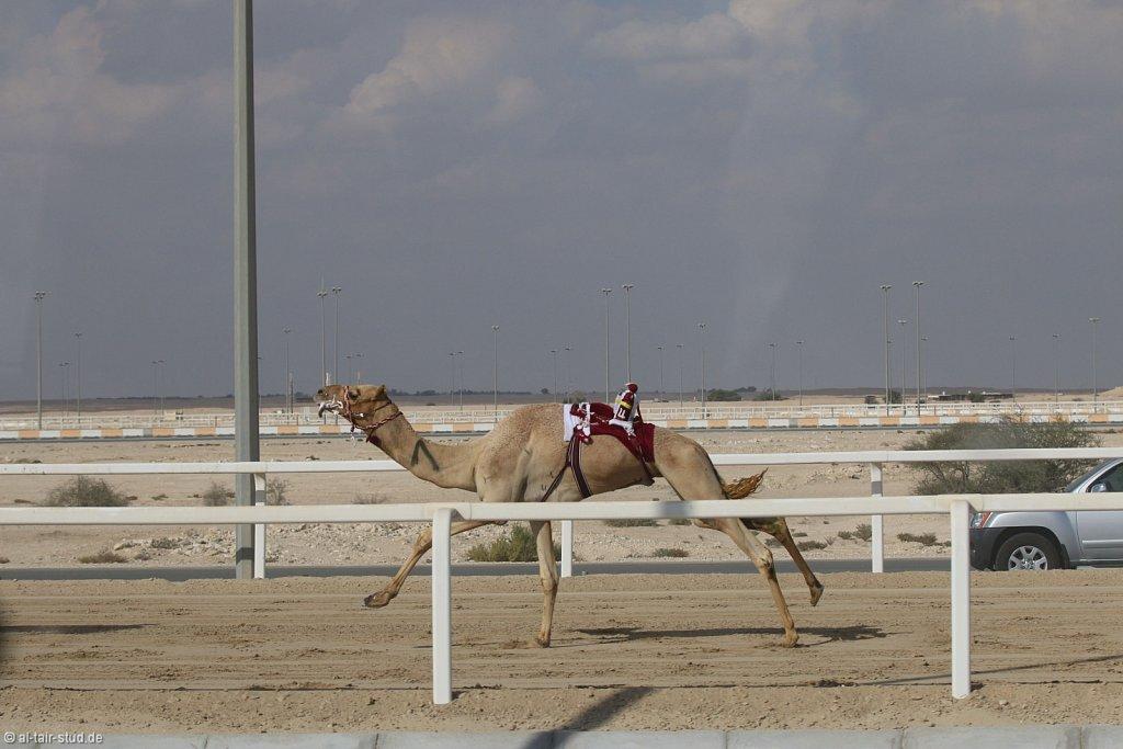 20141115b-009-CamelRace-IMG-4972-o.jpg