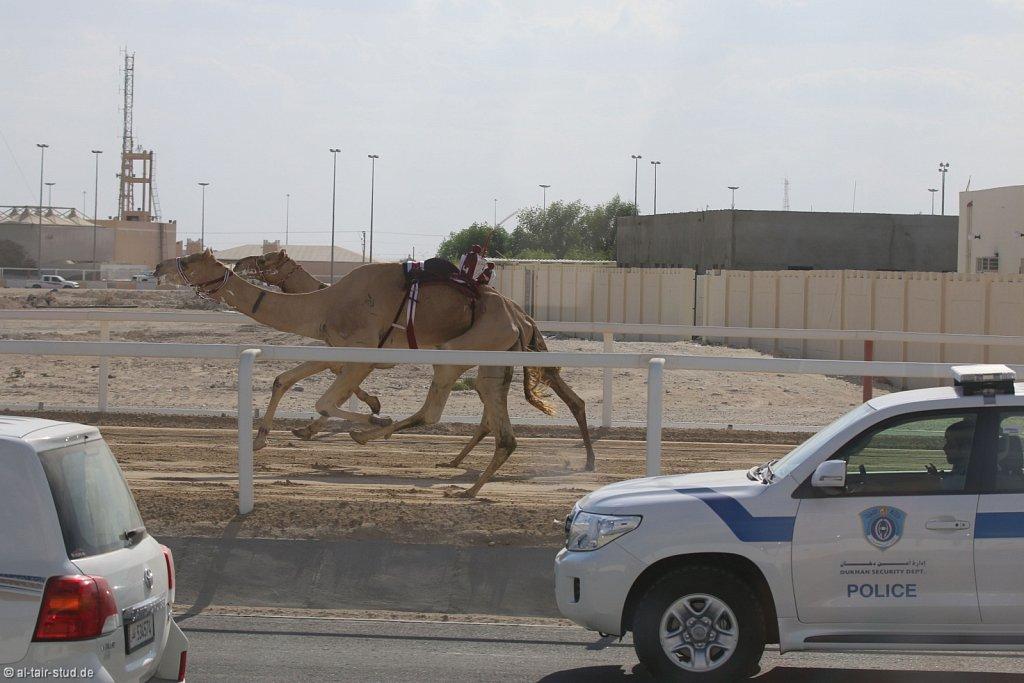20141115b-010-CamelRace-IMG-4996-o.jpg