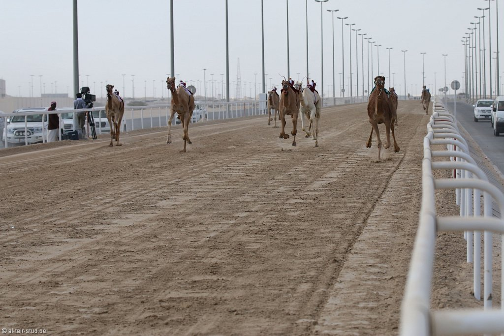 20141115b-023-CamelRace-IMG-5176-o.jpg