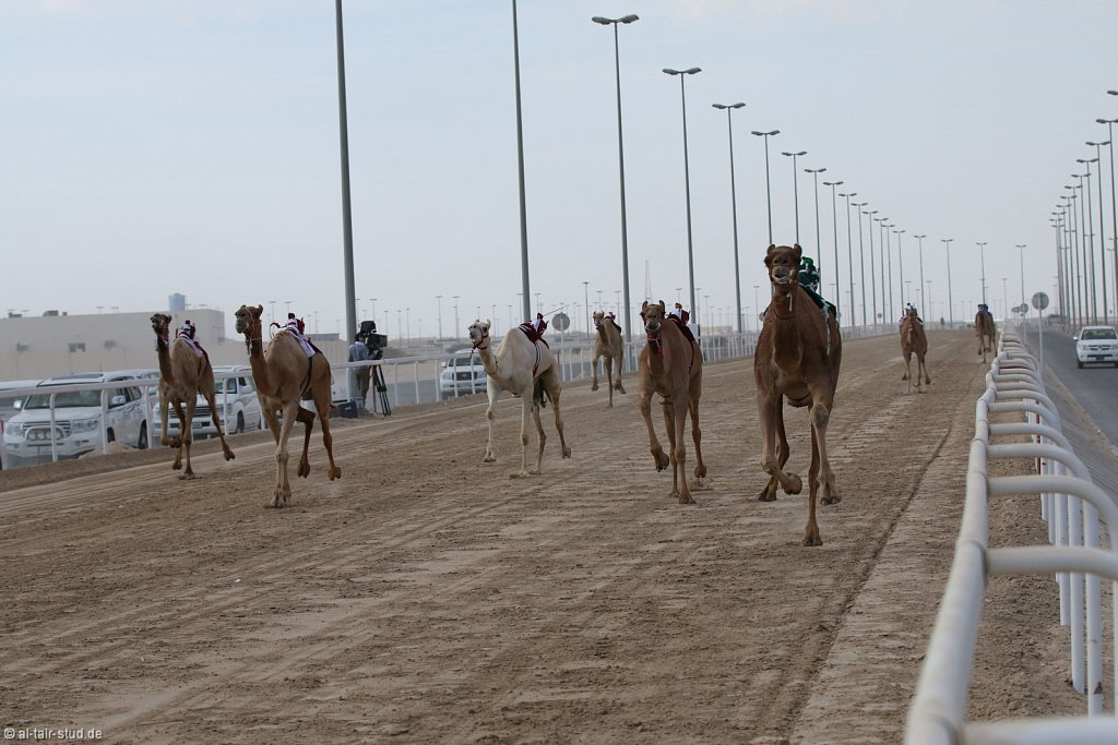 20141115b-024-CamelRace-IMG-5190-o.jpg