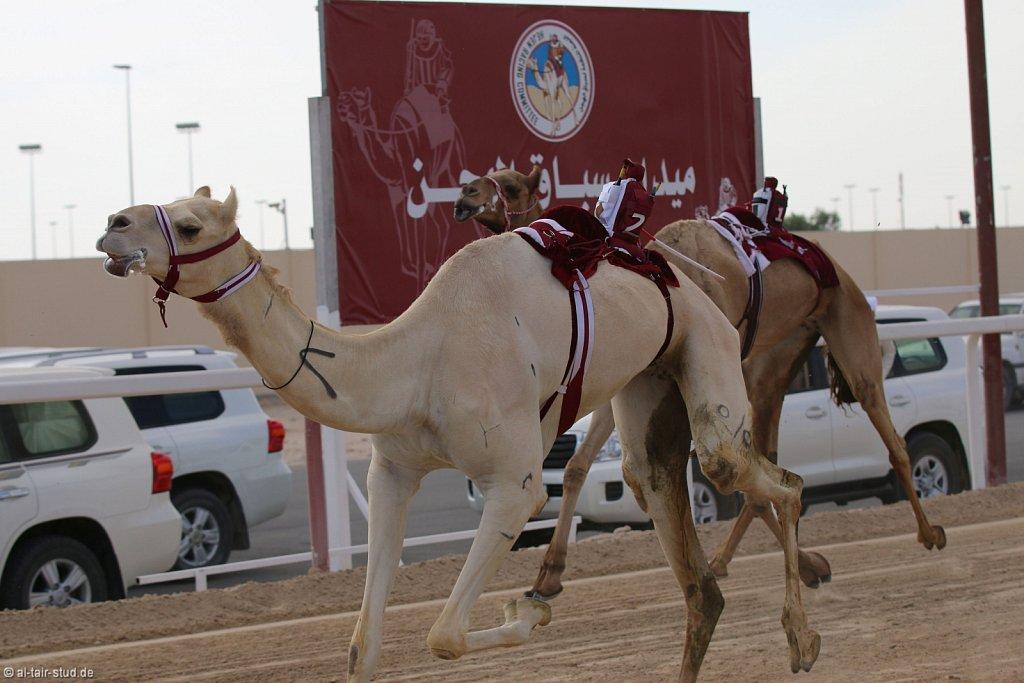20141115b-027-CamelRace-IMG-5212-o.jpg