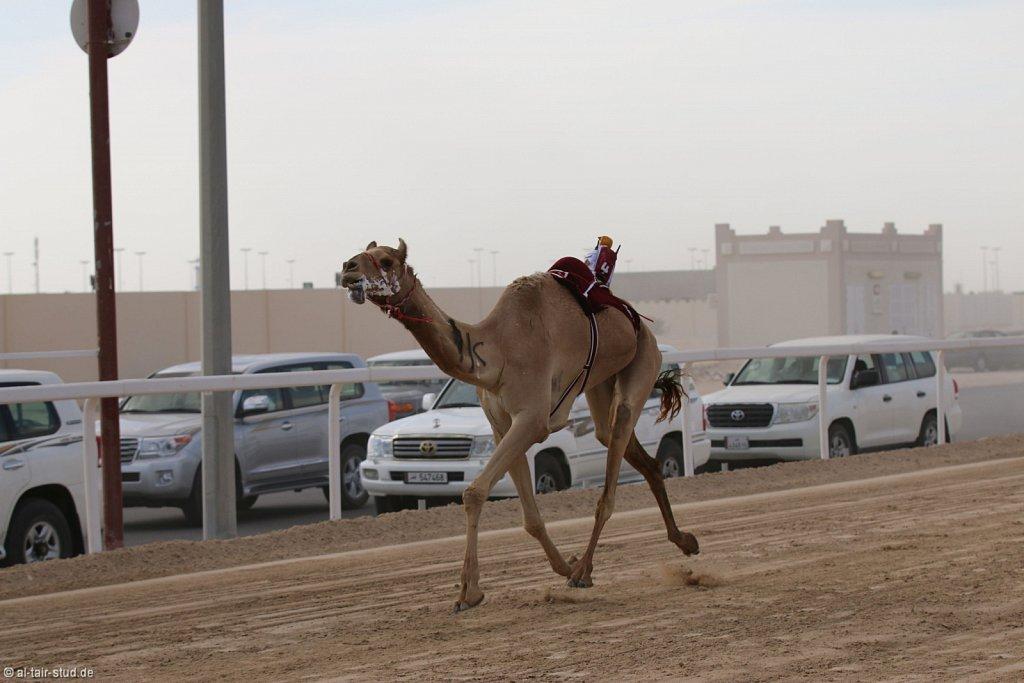 20141115b-028-CamelRace-IMG-5220-o.jpg