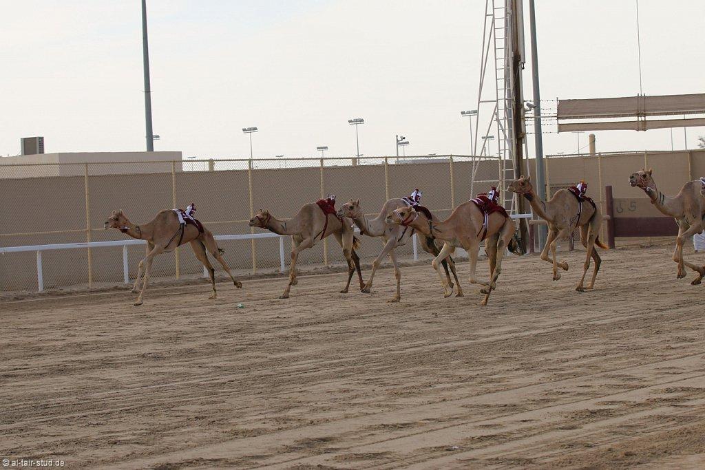 20141115b-040-CamelRace-IMG-5356-o.jpg
