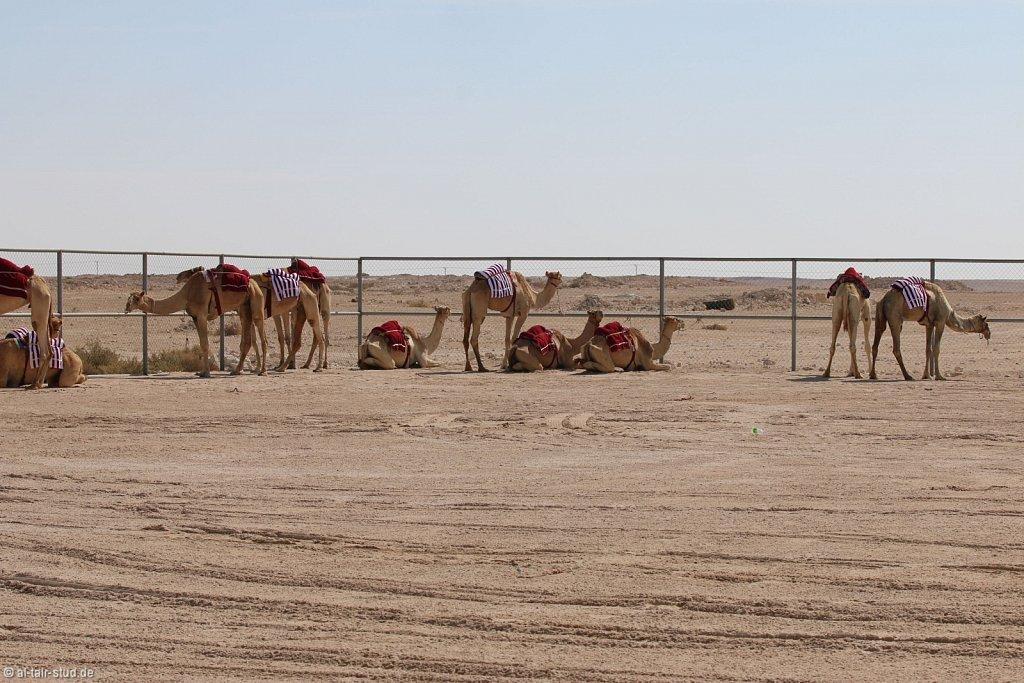 20141116a-037-CamelFarm-IMG-6273-o.jpg