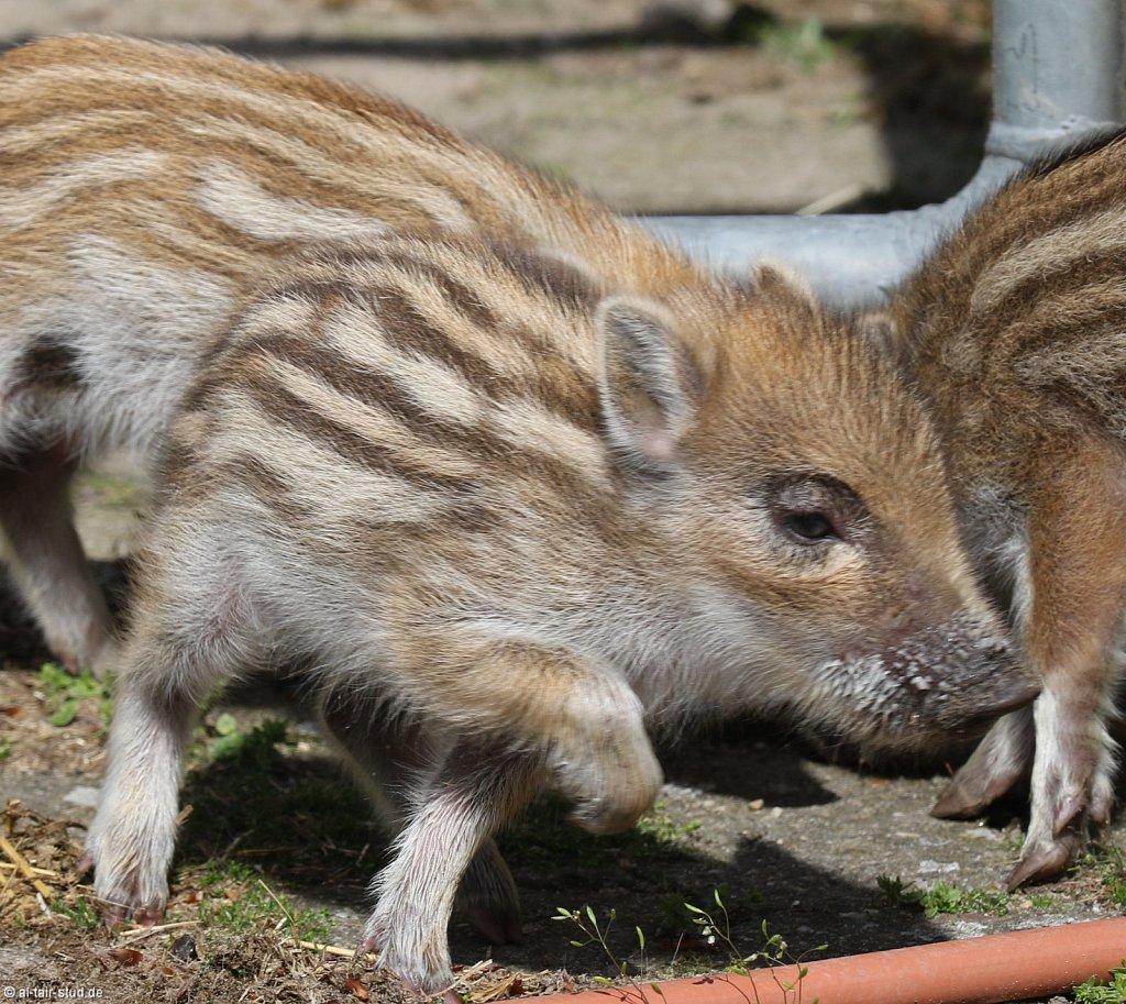 2019-04-28-KSL-Wildschweine-087A2073-007.jpg